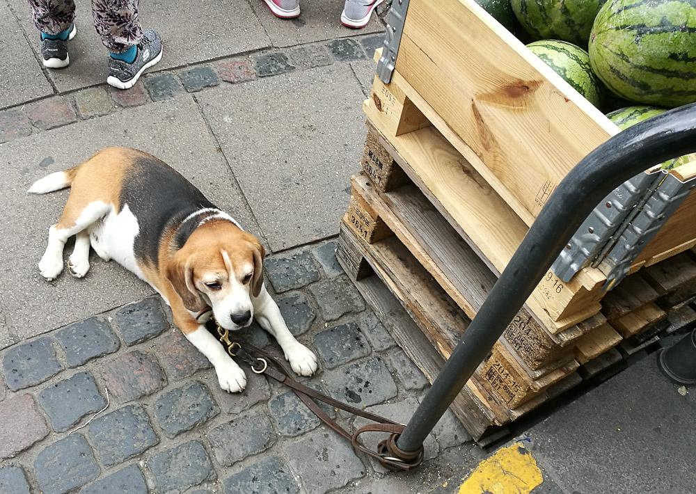 En hund vogtede meloner