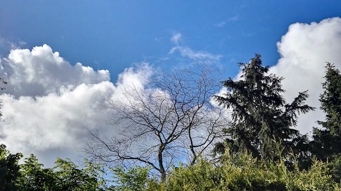Akacietræet lader vente på sig