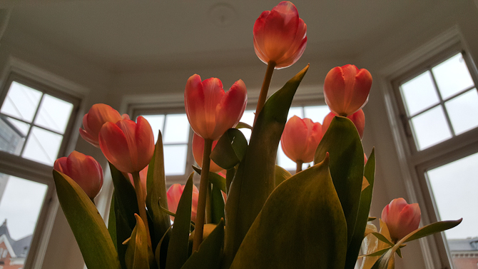 Tulips til den yndige