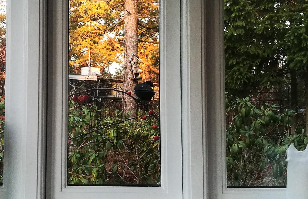 Solsort på udetræ
